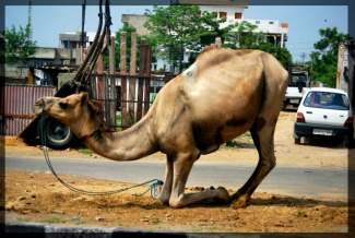Even Camels Bow Down Photo